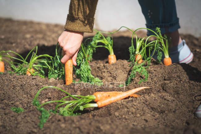 Immagine ritagliata di donna in abito casual tirando carota matura dal terreno nella giornata di sole in fattoria — Foto stock