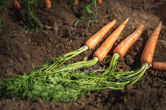 Carrots lying down in dirt ground — Stock Photo
