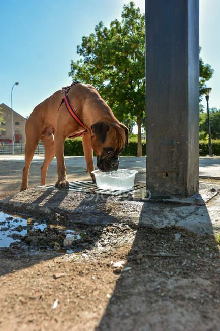Собака по кличке Боб пьет воду из глухаря — стоковое фото