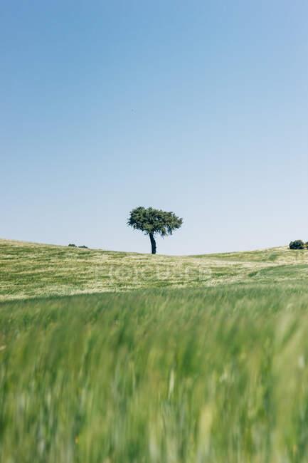 Дерево, розміщене посередині зеленого поля проти ясного блакитного неба. — стокове фото