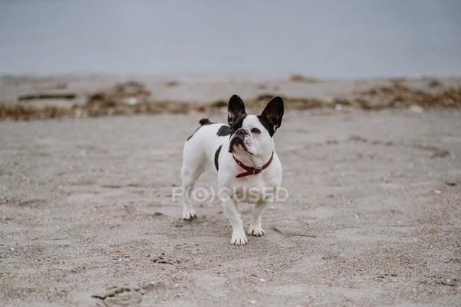 Пятнистый французский бульдог стоит на песчаном пляже в скучный день — стоковое фото