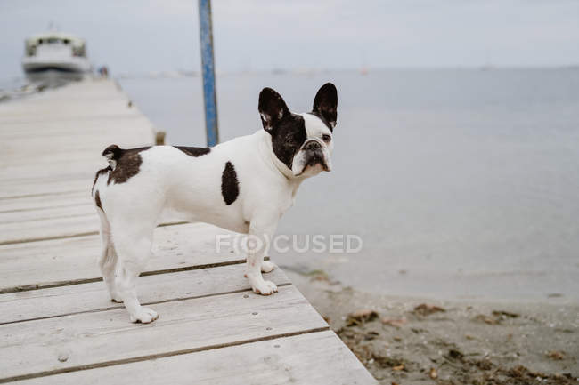 Adorable French Bulldog standing on wooden pier on gray day on beach — Stock Photo