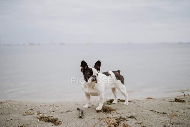 Любопытный французский бульдог стоит на песчаном пляже в серый день — стоковое фото