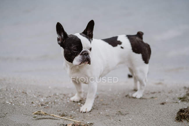 Adorable French Bulldog standing on sand near sea on gray day — Stock Photo