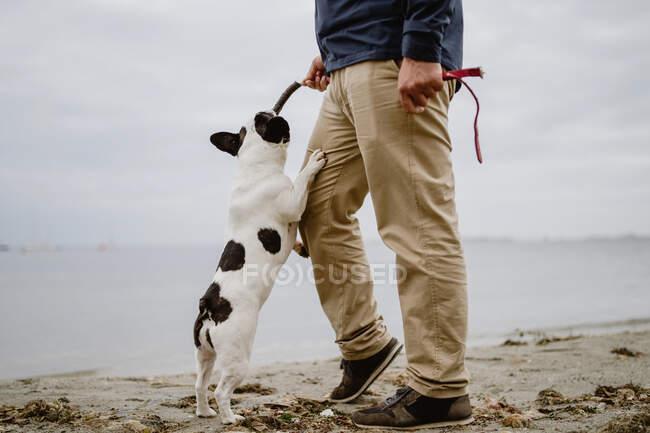 Неузнаваемый мужчина держит палку с французским бульдогом, висящим на ней, стоя на песчаном берегу около спокойного моря. — стоковое фото