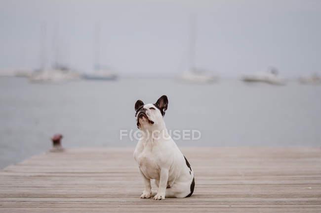 Очаровательный французский бульдог сидит на деревянном пирсе в серый день на пляже — стоковое фото