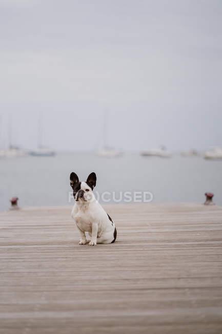 Adorabile Bulldog francese seduto sul molo di legno nella giornata grigia sulla spiaggia — Foto stock
