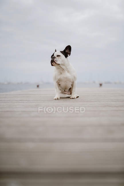 Adorable French Bulldog sitting on wooden pier on gray day on beach — Stock Photo