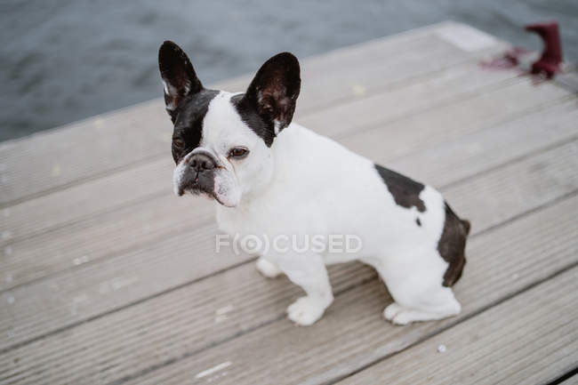 Closeup of adorable French Bulldog standing on wooden pier — Stock Photo