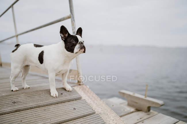 Прекрасный французский бульдог, стоящий на деревянном пирсе у моря в серый день — стоковое фото