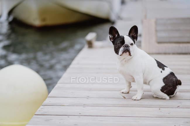 Adorabile Bulldog francese seduto sul molo di legno vicino al mare nella giornata grigia — Foto stock