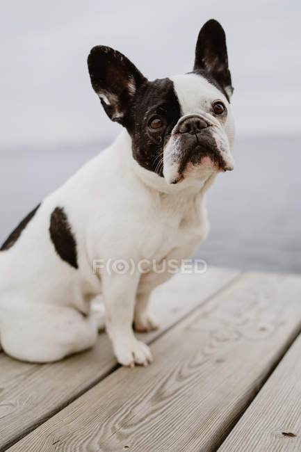 Entzückende französische Bulldogge sitzt an grauen Tagen am Strand auf einem hölzernen Steg — Stockfoto