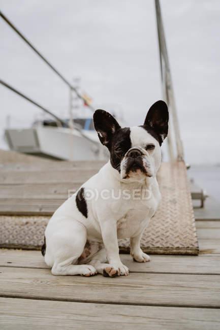 Adorabile Bulldog francese seduto sul molo di legno nella giornata grigia e guardando la fotocamera — Foto stock