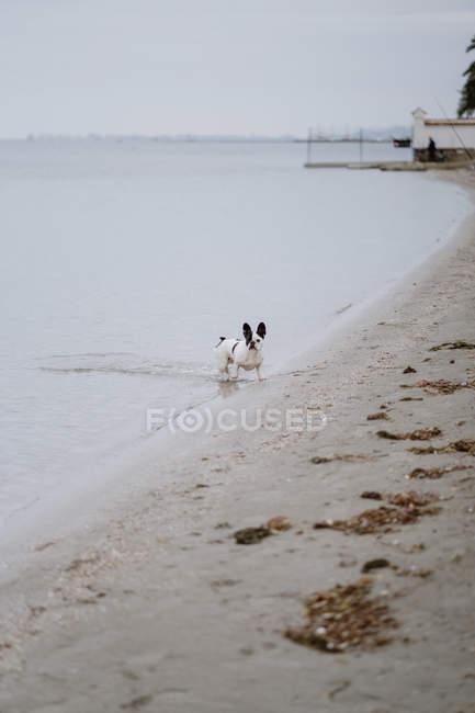 Пятнистый французский бульдог, стоящий в морской воде в скучный день — стоковое фото