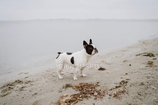 Пятнистый французский бульдог стоит на песчаном пляже с закрытыми глазами в скучный день — стоковое фото