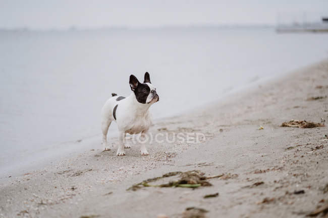 Spotted French Bulldog standing on sandy beach with eyes closed on dull day — Stock Photo