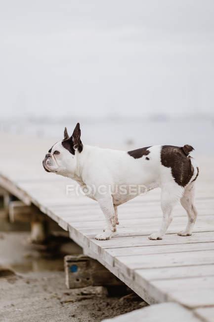 Очаровательный французский бульдог стоит на деревянном пирсе в серый день на пляже — стоковое фото