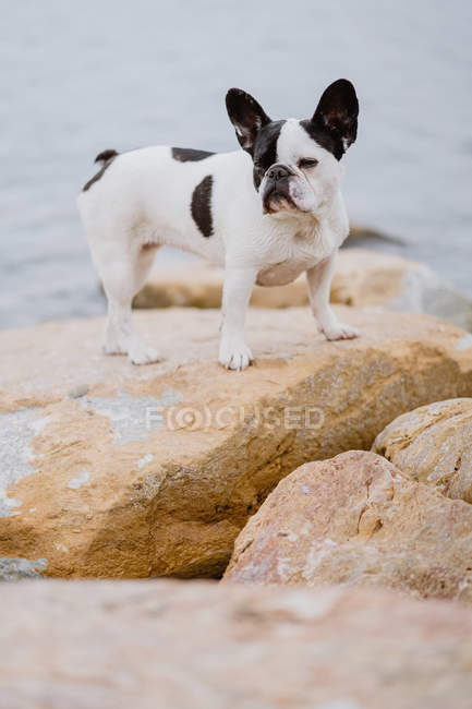 Cute French Bulldog standing on rough stones near calm sea on moody day — Stock Photo