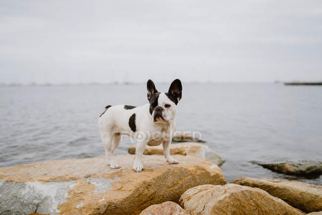 Curious French Bulldog standing on rough stones near calm sea on moody day — Stock Photo
