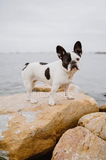Милый французский бульдог, стоящий на грубых камнях возле спокойного моря в капризный день — стоковое фото