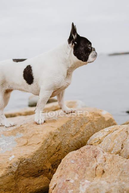 Curieux Bouledogue français debout sur des pierres rugueuses près de la mer calme le jour lunaire — Photo de stock