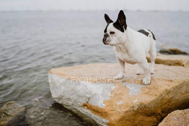 Любопытный французский бульдог, стоящий на грубых камнях возле спокойного моря в мрачный день — стоковое фото