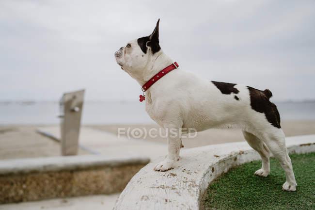 Bonito Bulldog francês de pé na parede de pedra na costa no dia mau humor — Fotografia de Stock
