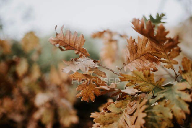 Brown leaves growing on tree branches on autumn day — Stock Photo