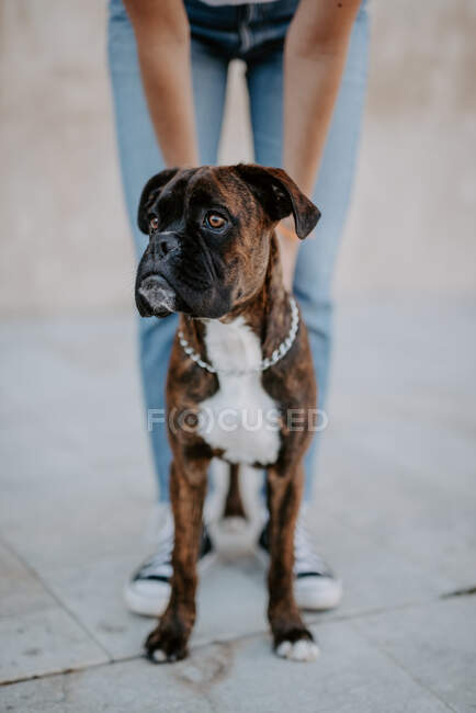 Adorable chien boxeur au visage amusant debout sur l'asphalte et regardant au-dessus — Photo de stock