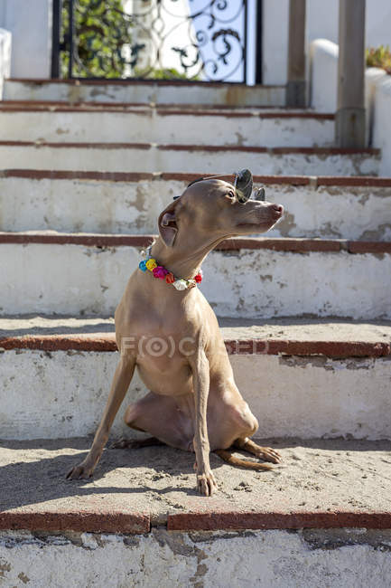 Funny little dog in sunglasses and colorful collar sitting on shabby stairs in sunlight — Stock Photo