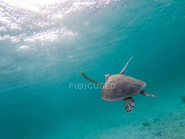 Сценический вид морской черепахи, плавающей под водой на солнце — стоковое фото