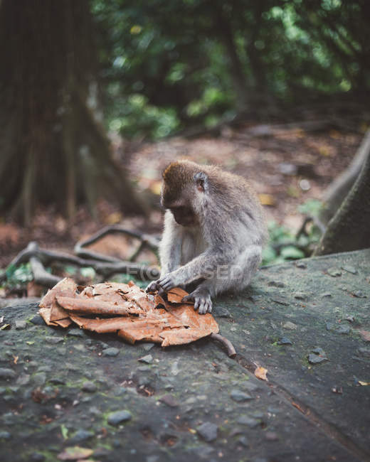 Little macaque siting on stone fence playing with dried leaf in tropical forest of Bali — Stock Photo