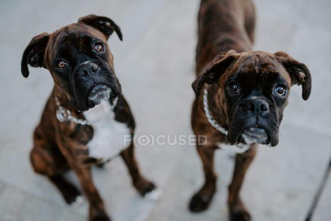 Сверху очаровательные боксерские собаки с забавными лицами, сидящие на тротуаре и ждущие команды, смотрящие в камеру — стоковое фото