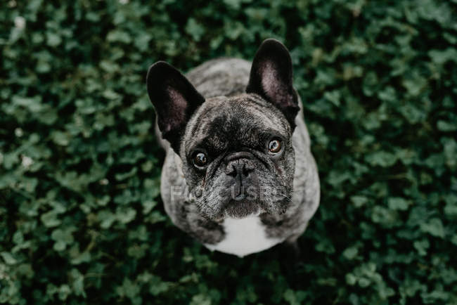 French bulldog with gray spots sitting on grass and looking at camera from above — Stock Photo
