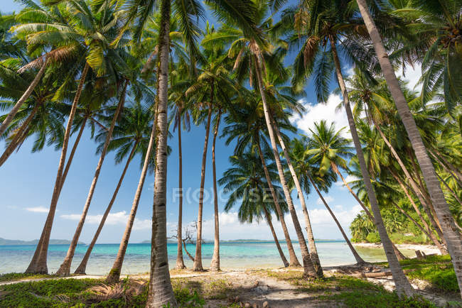 High palm trees growing on seashore along turquoise water on blue sky background — Stock Photo