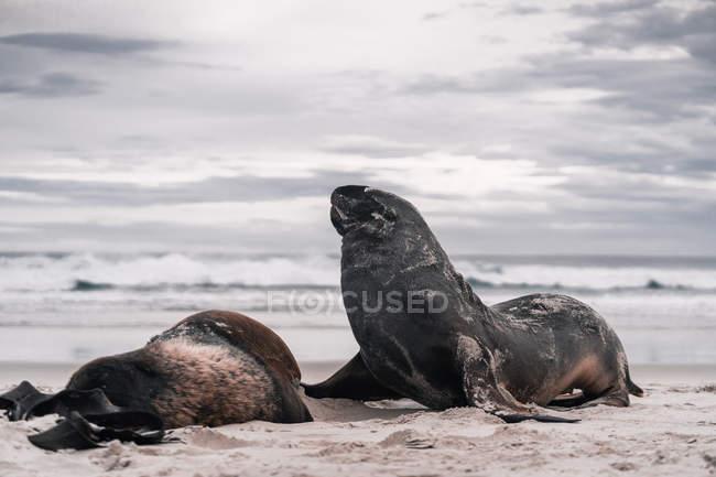 Brown adorabili foche sdraiato e godersi il sole sulla spiaggia alla luce del giorno — Foto stock