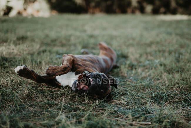 Очаровательный сильный коричневый боксер собака играет и лежит в зеленой лужайке с конусом — стоковое фото