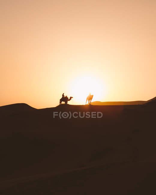 Vista di sagome di cammelli su dune di sabbia nel deserto contro la luce del tramonto, Marocco — Foto stock