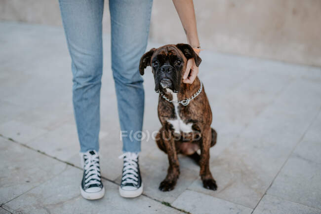 Adorable boxer dog with amusing face standing on asphalt and looking above — Stock Photo