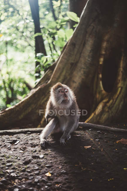 Little macaque siting on stone ground in tropical forest of Bali — Stock Photo