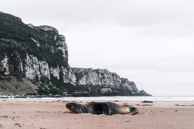 Grande sigillo urlante sulla riva rocciosa in Purakaunui, Nuova Zelanda in giorno nuvoloso — Foto stock