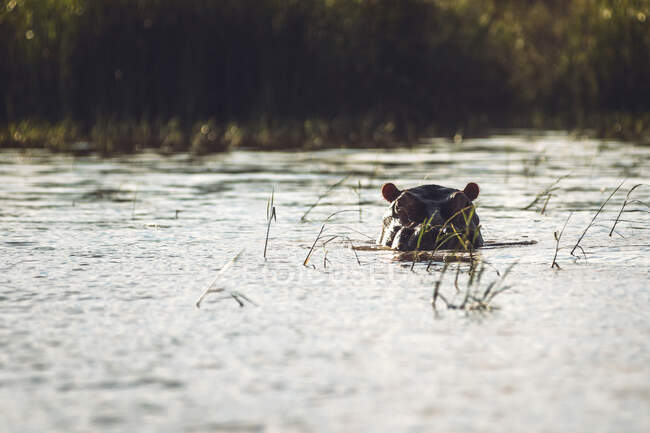 Head of common hippopotamus floating over surface of calm water on sunny day in national park in Ethiopia — Stock Photo