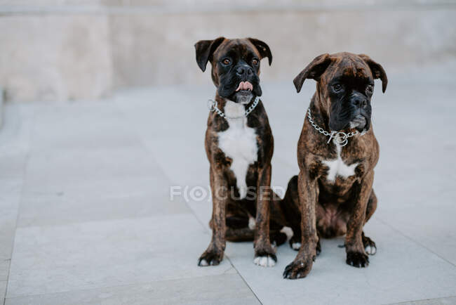 From above adorable boxer dogs with amusing faces sitting on pavement and waiting for team — Stock Photo