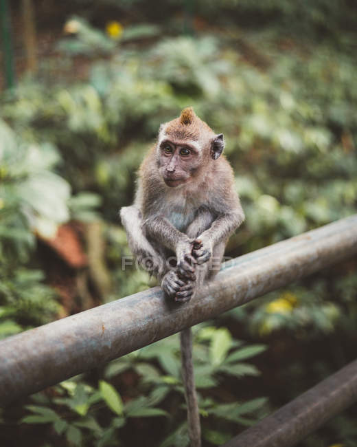 Closeup of little macaque siting on fence in lush green tropical forest — Stock Photo