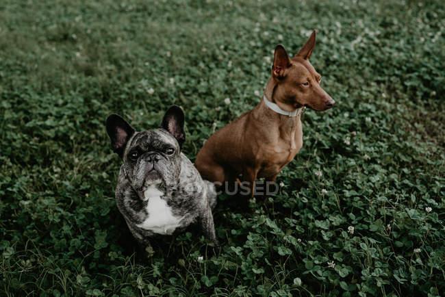 Français le bouledogue et le chien brun s'asseyant sur l'herbe ensemble — Photo de stock