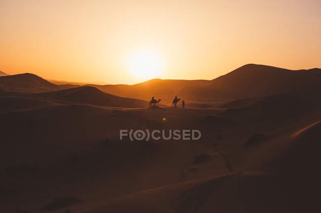 Вид верблюдів силуети на піску дюни в пустелі проти Заходу світла, Марокко — стокове фото