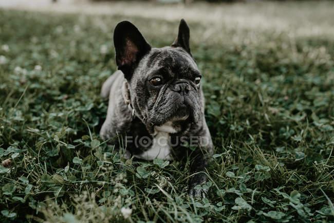 Французский бульдог с серыми пятнами на траве — стоковое фото