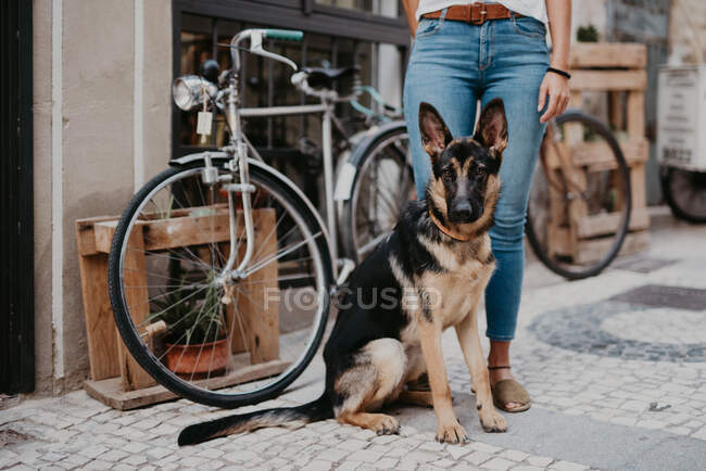 Cute german shepherd standing close bicycle on cobblestone pavement with crop owner standing near — Stock Photo