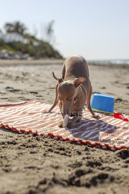 Brinquedo cortante do cão brincalhão na praia arenosa na luz solar — Fotografia de Stock