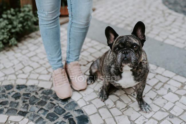 Bouledogue mignon s'asseyant sur le trottoir de pavé près des jambes de propriétaire — Photo de stock